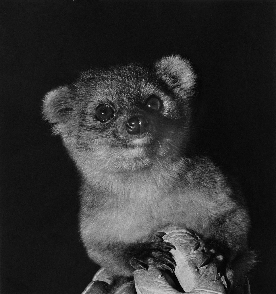 Olinguito Photo In Zoo For Desktop