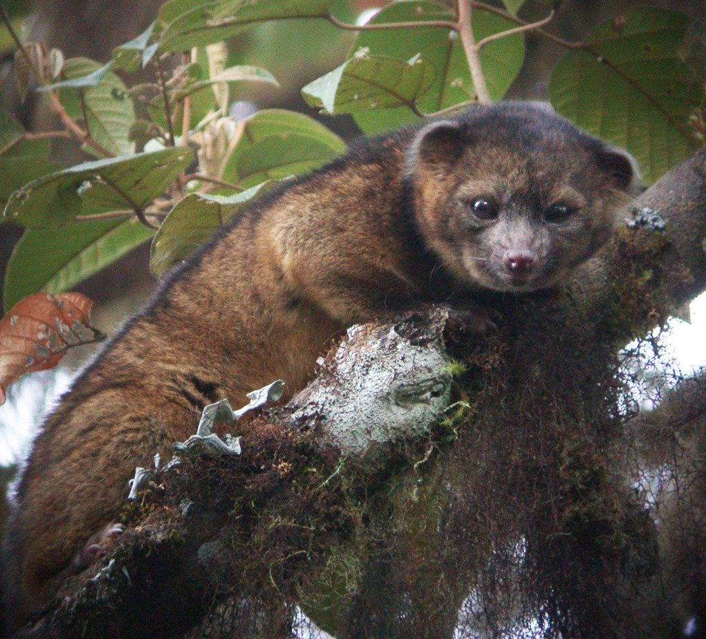 Photo Of Olinguito Free Download Free